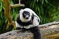 Lemur (26992493158).jpg