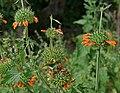 Leonotis nepetifolia (Deepmal) in Narshapur, AP W2 IMG 1165.jpg