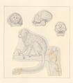 Leontopithecus rosalia - 1788-1863 - Print - Iconographia Zoologica - Special Collections University of Amsterdam - UBA01 IZA1000468.tif