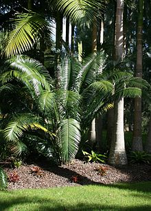 Lepidozamia peroffskyana at Kerikeri, Bay of Islands, New Zealand.jpg