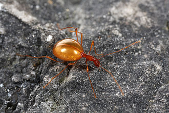 Subterranean fauna - The cave beetle Leptodirus hochenwartii (family Leiodidae).