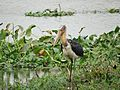 Lesser Adjutant Stork (5).jpg