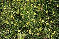 Lesser Spearwort (Ranunculus flammula) - geograph.org.uk - 205092.jpg