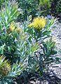 Leucospermum formosum..JPG