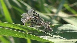 Lake Köyceğiz - Dragonflies in the reeds