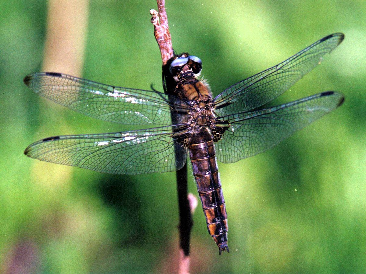 Molto libellula - Wikizionario AG29