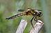 Libellula quadrimaculata qtl7.jpg
