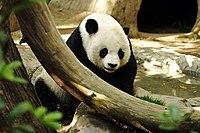 Panda Gao Gao do Zoológico de San Diego