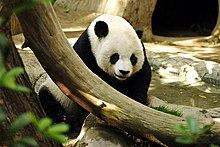 Un adulto di panda gigante allo Zoo di San Diego
