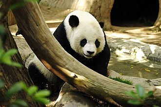 Wildlife of China - The giant panda is endemic to China, where it is an endangered and protected species.