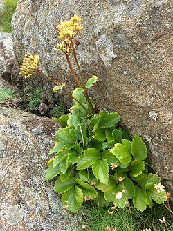 Ligusticum scoticum.jpg