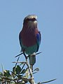 Lilac breasted roller in Tanzania 2850 cropped Nevit.jpg
