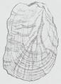 Limacidae - shell.png