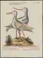 Limosa hudsonica - 1700-1880 - Print - Iconographia Zoologica - Special Collections University of Amsterdam - UBA01 IZ17400035.tif