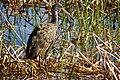 Limpkin (Aramus guarauna) (6852457080).jpg