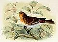 Linaria flavirostris 1873.jpg