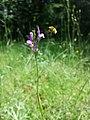 Linaria pelisseriana sl8.jpg