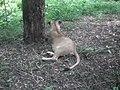 Lion from Bannerghatta National Park 8489.JPG
