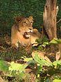 Lioness resting in Gir.jpg