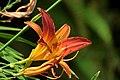Lirio de un día - Azucena (Hemerocallis sp.) (14414560802).jpg