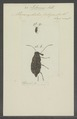 Litocerus - Print - Iconographia Zoologica - Special Collections University of Amsterdam - UBAINV0274 031 03 0007.tif