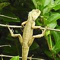 Lizard from Madayipara DSCN2650.jpg