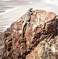 Lizard on a rock overlooking Death Valley (cropped).jpg