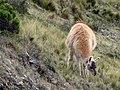 Llama (6988099412).jpg