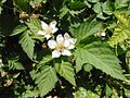 Loganberry flowers.jpg