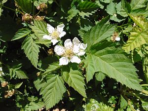Loganberry - Loganberries in blossom