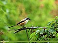Long-tailed Shrike (Lanius schach) (20062701224).jpg