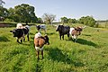 Longhorn cattle grazing. (24480655034).jpg