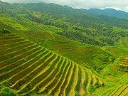 حقول الأرز في لونغ شينغ