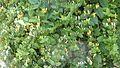 Lonicera japonica 4.jpg