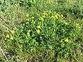 Lotus corniculatus var. corniculatus s. lat. sl6.jpg
