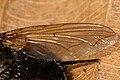 Lucilia.pilosiventris9.-.lindsey.jpg