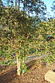 Luma apiculata - San Luis Obispo Botanical Garden - DSC05993.JPG