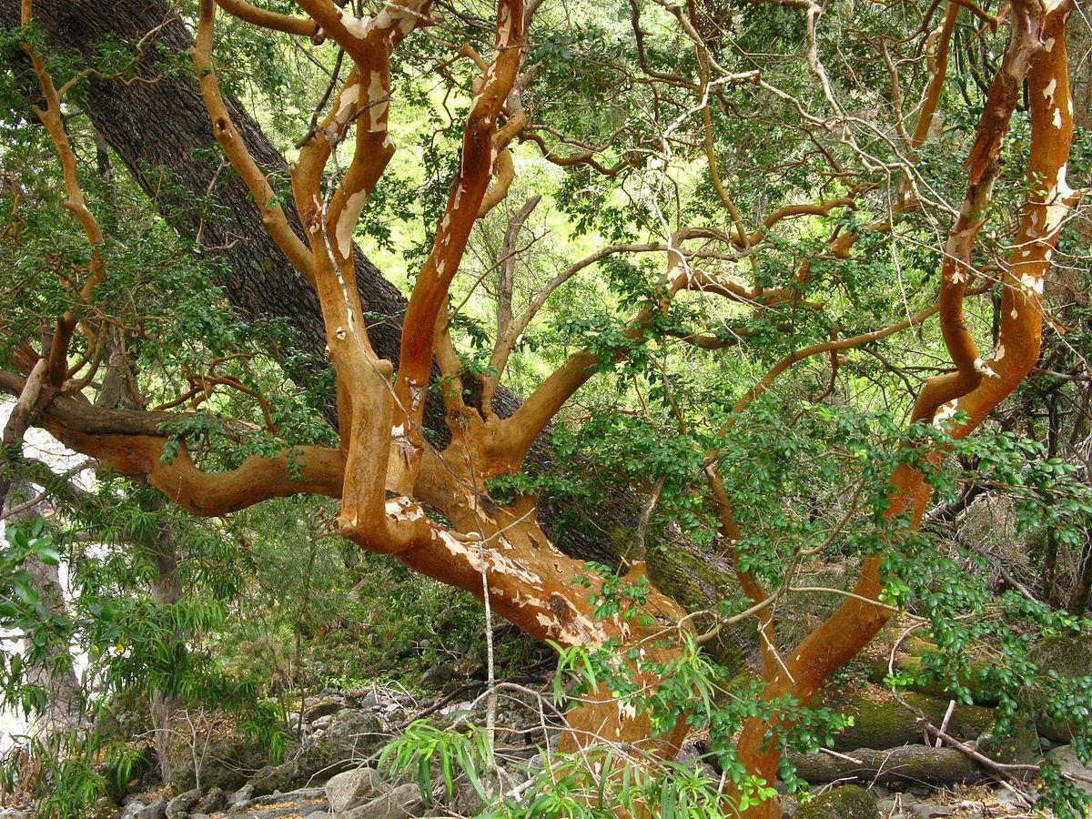 Luma apiculata wikipedia la enciclopedia libre for Raices ornamentales