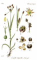 Luzula campestris (Sturm Abt.1, Bd.18, 1840, BHL-147982, Tafel VI.1 77.5.) clean.png