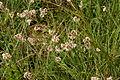 Luzula nivea (L.) Dc. (9467665260).jpg