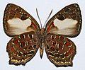 Lycaenid Butterfly (Hypochrysops polycletus) female underside (8419122907).jpg
