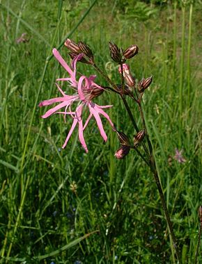 Description de l'image  Image:Lychnis flos-cuculi.jpg .