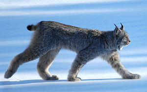 Canada lynx - The Canada lynx's forelimbs are shorter than its hindlimbs, giving it a downward sloping appearance