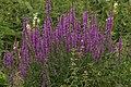 Lythrum salicaria Blutweiderich GartenAkademie.jpg