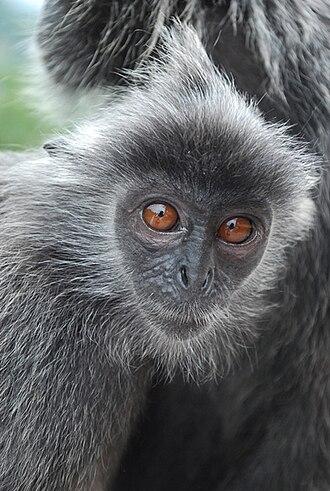 Selangor - Silver Leaf Monkey in Bukit Melawati