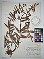MNH DA 017-PAND-120 Freycinetia sphaerocephala Gaudich.jpg