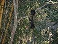 Macaco prego Manduri 060811 REFON 13.JPG