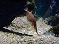 Macroramphosus scolopax Scheveningen Sea Life 15022016 2.jpg