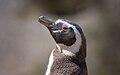 Magellanic penguin, Valdes Peninsula, c.jpg
