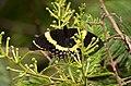 Magnificent Swallowtail, Papilio garamas garamas (9704383443).jpg
